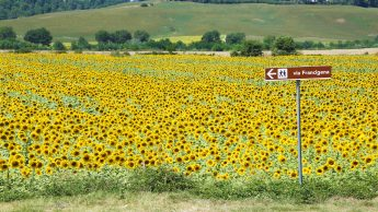 Via Francigena signpost in front of a sunflower field in central Tuscany